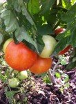 <b>tomates</b> <br />